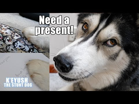 Husky Surprises Best Friend With Birthday Gift He Wrapped Himself!
