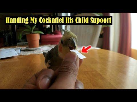 Cockatiel Is TERRIFIED Of CHILD SUPPORT! Cockatiel Singing, Free Flight