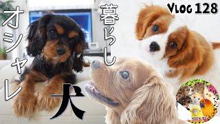 キャバリア大好き! ふわふわお散歩風景なだけの動画です。 犬(キャバ...