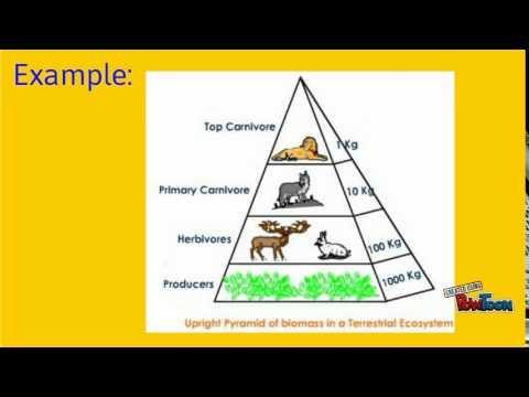Biology Biomass Pyramids Youtube