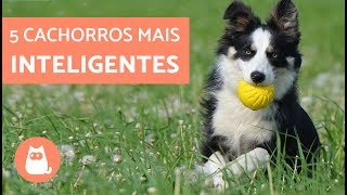 As raças de CACHORROS MAIS INTELIGENTES DO MUNDO