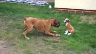 Funny Boxer Dog Playing With Statue