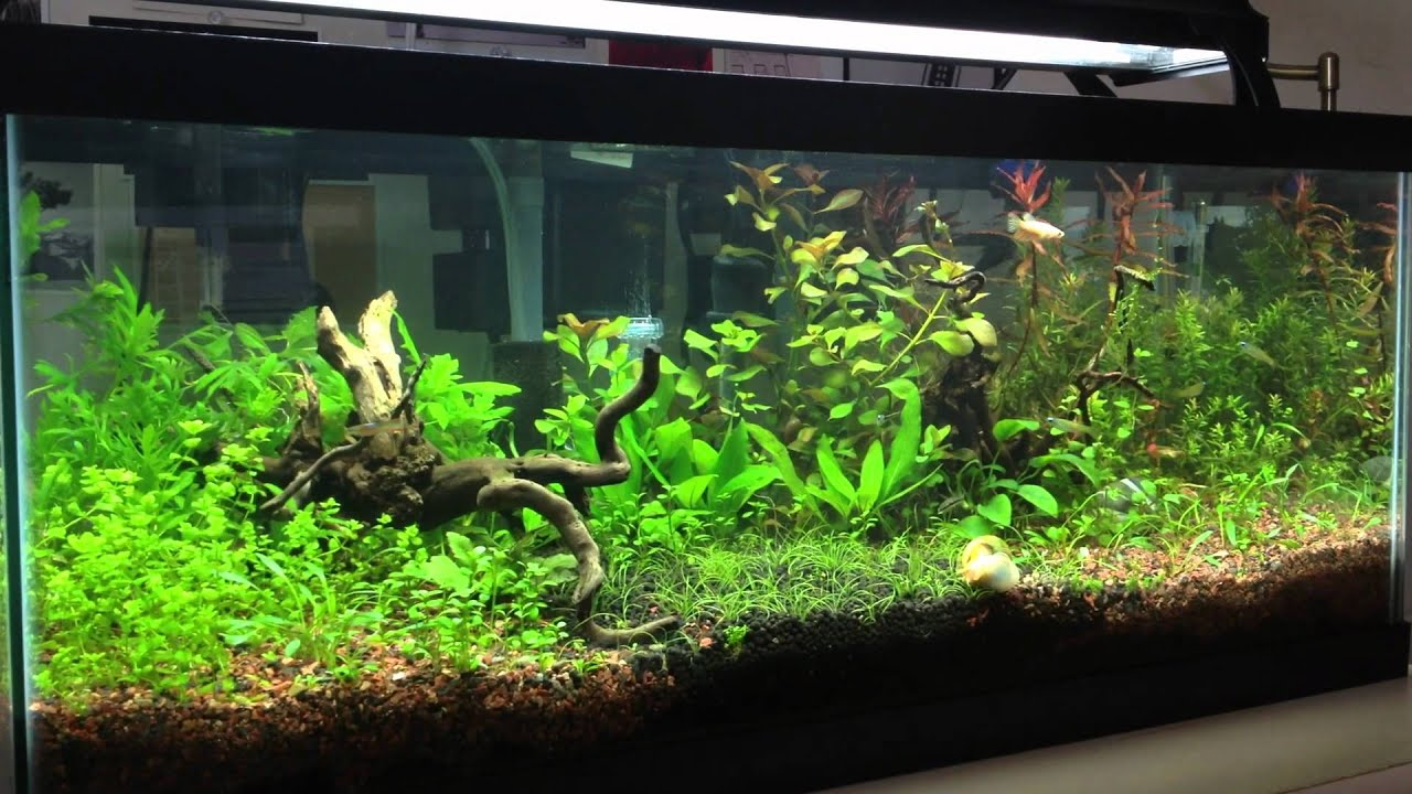 20 gallon tank youtube 20 gallon long planted tank for Planted tank fish