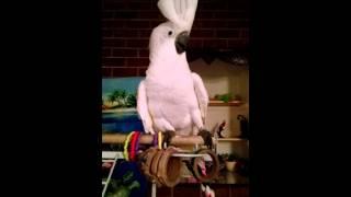 """Cockatoo sings """"Bodies"""" by Drowning pool"""