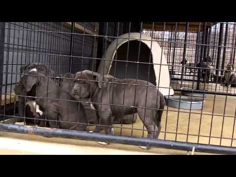Blue Razors Edge American Bully Puppies For Sale