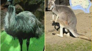 Животные Австралии. Видео о кенгуру и эму.(В этом видео любители животных смогут познакомиться с двумя самыми известными обитателями Австралии -..., 2014-06-02T18:10:11.000Z)
