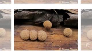 Nidularia deformis - fungi kingdom
