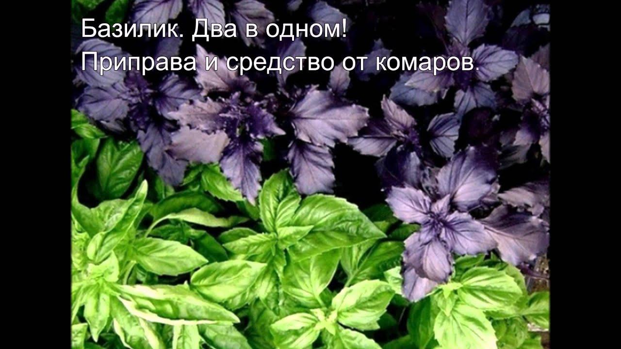 Меддесятка #11. Растения и травы против комаров.