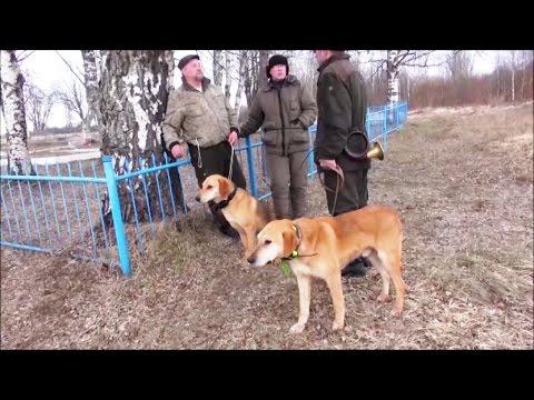 В гостях у Фоктова М. А.Русские гончие Пылай и Разбой вл. Попов В.Б.