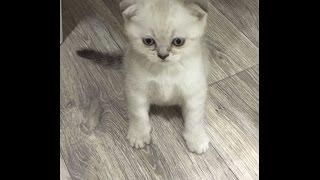 Шотландские котята Окрас сил-сильвер тэди поинт