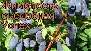 Жимолость съедобная Успех (lonicera edulis uspekh) ???? обзор: как сажать, саженцы жимолости Успех