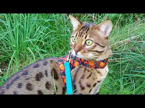 Our Savannah Cat Kai walking on a leash!