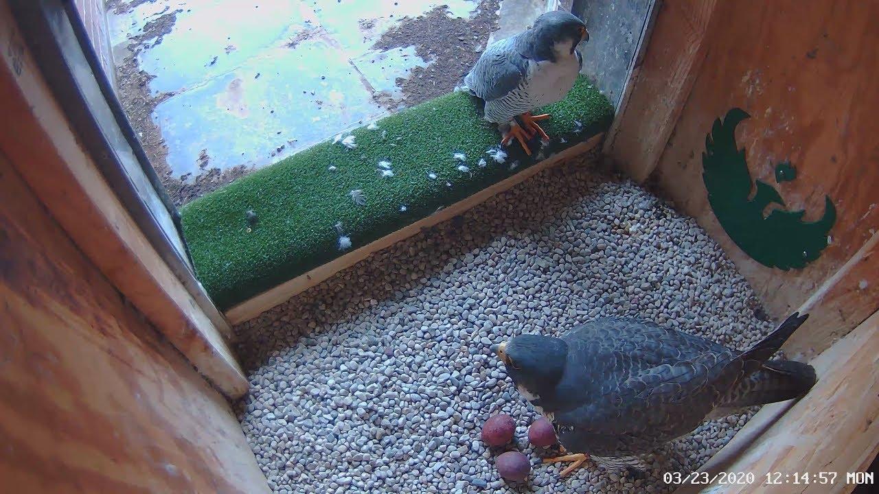 UW-Green Bay Peregrine Falcon Nest Box Live Stream