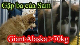 Giant Alaska Trên 70kg - Gặp ba của Sam - Đôi lời gửi Mật Pet Family ( Ngô Thị Sao Mai) PUGK PET
