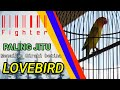 Lovbird Fighter Terapi Menaikan Emosi Dan Birahi Lovebird Betina Fighter  Mp3 - Mp4 Download