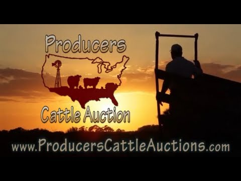 Producers Cattle Auction- Sorting and Loading
