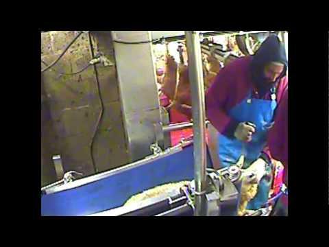 Undercover: inside a UK non-stun slaughterhouse, Bowood Yorkshire Lamb