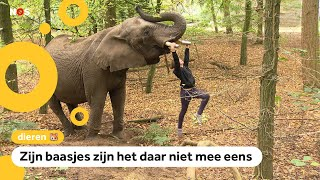 Buba, laatste circus-olifant van Nederland moet nu écht weg