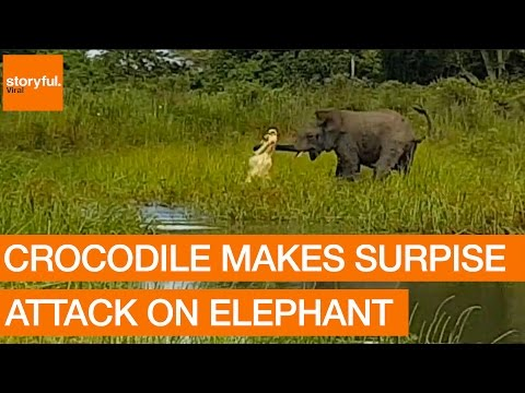 Crocodile Makes Surprise Attack on Elephant