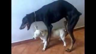 Спаривание собак: неудачное спаривание собак.(Спаривание собак: неудачное спаривание собак. Приоткройте завесу ТАЙНЫ интимных отношений братьев наших..., 2013-01-06T10:37:57.000Z)