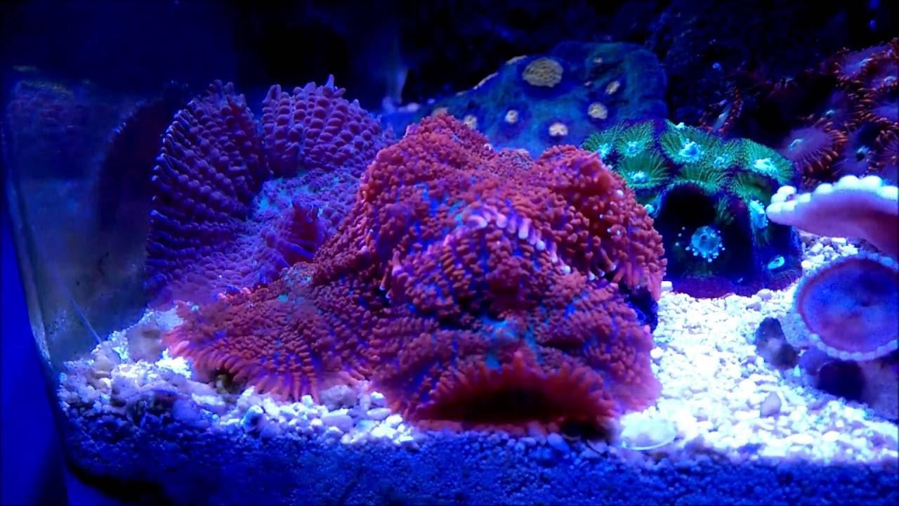 Discosoma Rhodactis Mushroom Corals Youtube