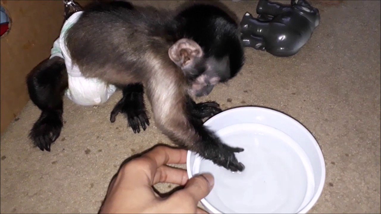 BABY BLACK CAP CAPUCHIN MONKEY PLAYING WITH WATER - SUPER CUTE ... c83f24684fb5