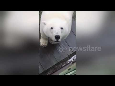 Station worker's surprise close encounter with huge polar bear on Arctic island