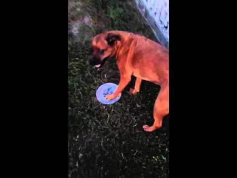 boxer/rott-mix-catching-frisbee