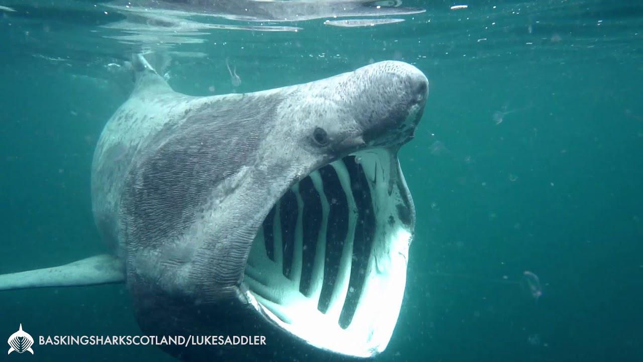 feeding basking shark youtube