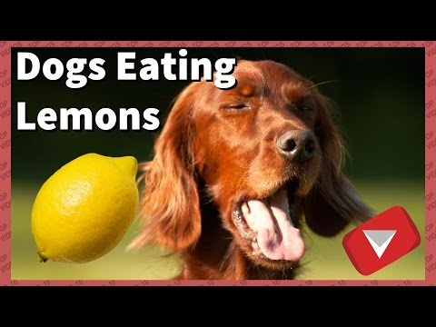 Dogs Trying Lemons For The First Time [Funny] (TOP 10 VIDEOS)
