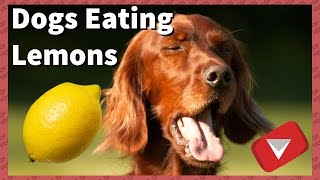 Dogs Trying Lemons For The First Time [Funny] (TOP 10 VIDEOS) thumbnail