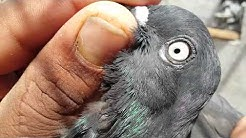 Shah jahan puri Haray. Pigeon pakistani. Kabootar