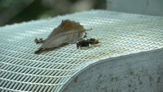 Les ravages du frelon asiatique bientôt finis?