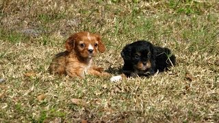 Cavalier King Charles, Puppies For Sale, In, Memphis, Tennessee, Tn, 19breeders, Clarksville, Chatta