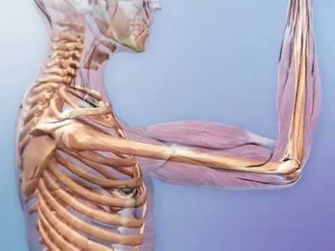 Nervous and muscular interactions in the skeletal system - YouTube