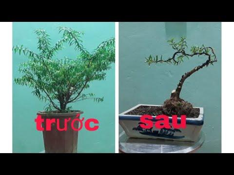 Cách trồng và uốn cây mai chiếu thủy đơn giản rễ làm