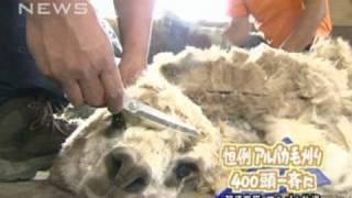 那須高原の牧場でアルパカの毛刈り 400頭一斉に(10/06/13)