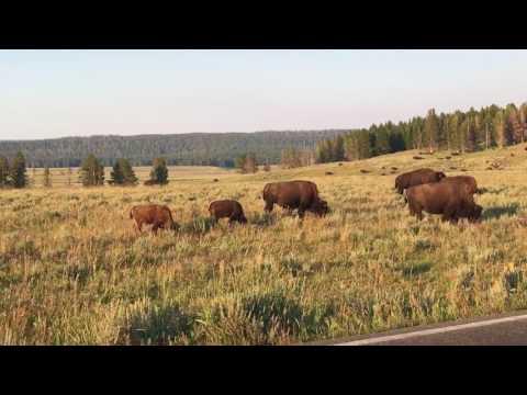 Bison mating season Yellowstone