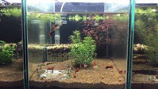 Hướng dẫn làm dàn bể thủy sinh bố cục BSA nuôi cá cực kỳ hiệu quả ( Dễ làm - Rẻ - Đẹp )