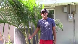 Areca Palm Stump and Re-CLUMP the Clump!  The Secret to Success - Part 2