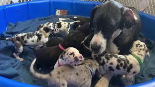 Great Dane Puppy Experience Birth8 Weeks