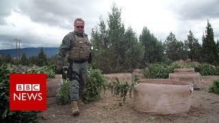 Weed wars: California county fights illegal marijuana - BBC News