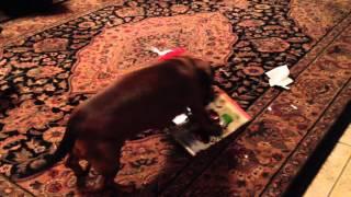 Dachshund Opens Christmas Gift