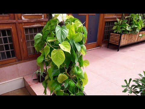 Best Philodendron - Oxycardium Care And Propagation || Care of Oxycardium Plant