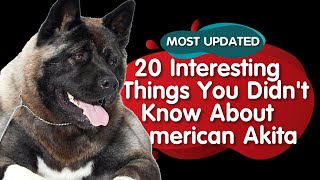Top 20 Interesting things about American Akita (MOST UPDATED)