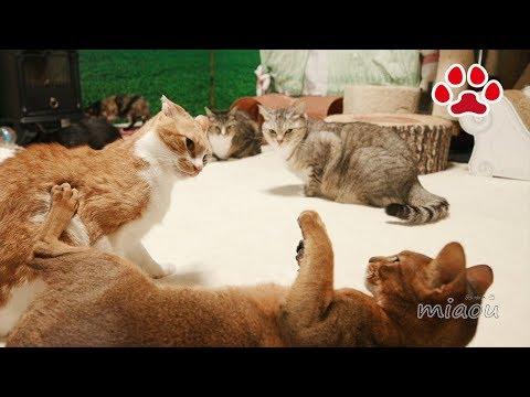 またたびに酔った8匹の猫達【瀬戸の猫部屋日記】Matatabi Silver vine and cats