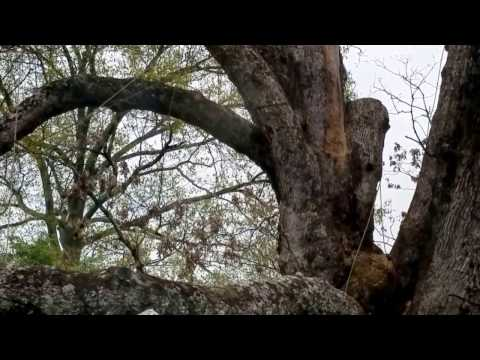 Basking Ridge Oak Tree Dismantling from Inside Church