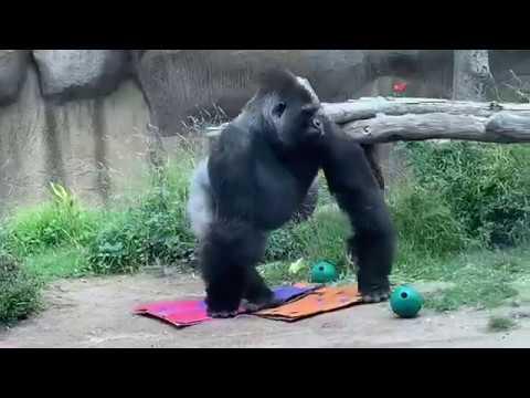 Gorilla Bangori Hit Glass and is eating ゴリラ バンゴリ Santa Barbara Zoo