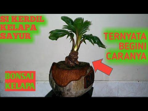 Bonsai Kelapa Sayur Si Kerdil Dengan Gayanya Youtube