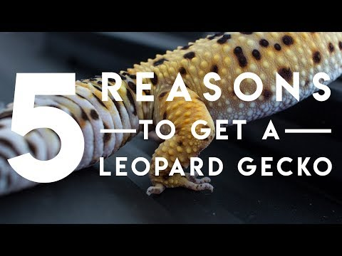 5 Reasons Leopard Geckos are Awesome!
